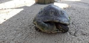El Consorci del Millars finalitza la campanya de seguiment de tortugues, amb quatre exemplars aut�ctons i dos ex�tics localitzats