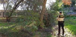 El Consorci del Millars eliminar� els pins afectats per la plaga del Tomicus destruens
